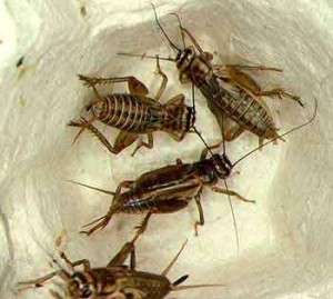 placentia crickets